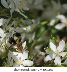 A bumble bee (Bombus spp.) collects nectar and pollen from the white blossom of a Golden Raindrops crabapple tree (Malus transitoria) on a sunny spring day in May 2020.