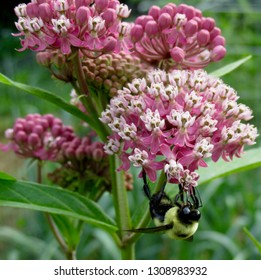 Bumble bee (Bombus spp.) on swamp milkweed (Asclepias incarnata) in northern New Jersey garden June 2015