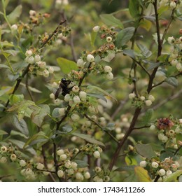 A bumble bee (Bombus spp.) is searching for nectar in blueberry buds (Vaccinium spp.) on a spring day in May 2020.