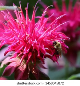 Bumble bee (Bombus spp.) sipping nectar on pink bee balm blossom (Monarda didyma) in northern New Jersey garden summer July 2019
