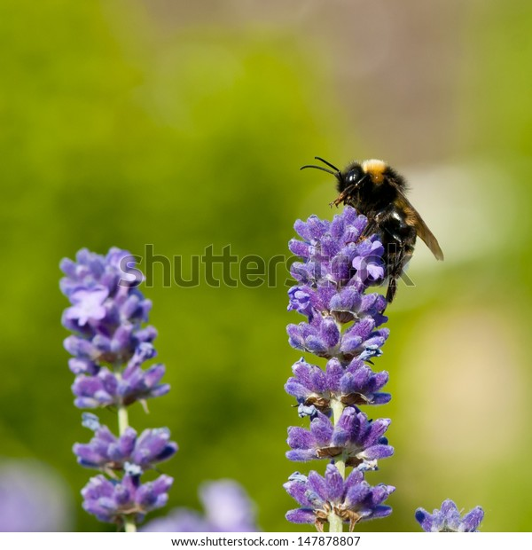 Bumble bee (Bombus terrestris) on lavender flower in England.