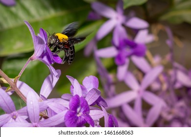 Bumble bee collecting nectar. Petrea volubilis L. King flower blooming indigo.And purple. flower and bumble bee.