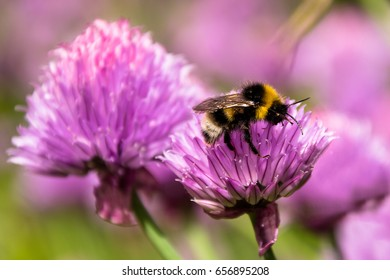 bumble bee collecting nectar from pink flower