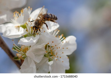 Bumble bee collecting polen from a cherry three flower