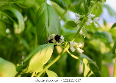 Bumble bee collecting pollen in Basil flowers
