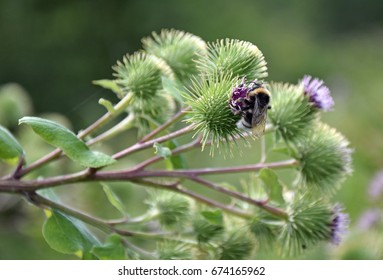 Bumble Bee collecting pollen nectar very good sharp detail quality