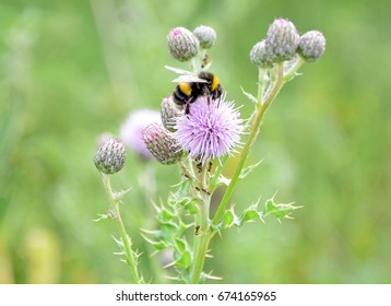 Bumble Bee collecting pollen nectar