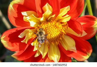 Bumble bee in a Dahlia Pooh Flower