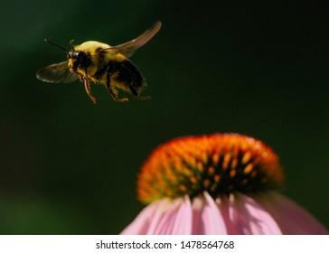 A bumble bee flies off a flower at an urban park.