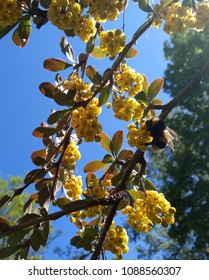 Bumble bee in the flowers of decorative barberry