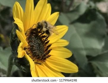 Bumble bee foraging on prairie sunflower