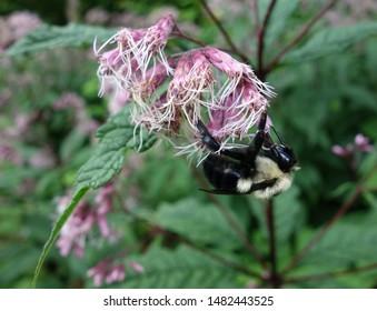 Bumble Bee Hanging on Pink Joe Pye Weed (Eupatorium fistulosum)