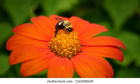 Bumble bee harvesting pollen on a red Mexican sunflower