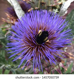 Bumble bee inside the flower of a cardoon