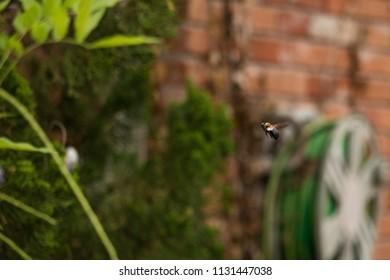 Bumble Bee mid-flight.