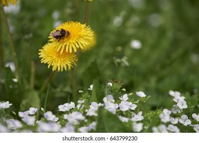 Bumble bee on dandelion
