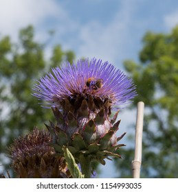 Bumble Bee on the Flower Head of a Cardoon (Cynara cardunculus) in a Country Cottage Garden in Rural Devon, England, UK