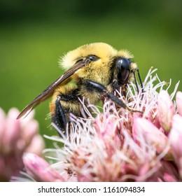 Bumble Bee on Joe Pye Weed