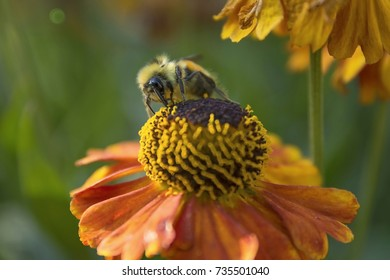 Bumble Bee on Mardis Gras Sneezeweed Flower with Room For Text