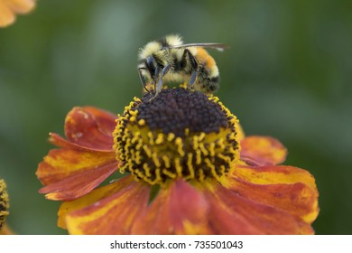 Bumble Bee on Mardis Gras Sneezeweed Flower