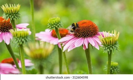 A bumble bee on pink daisy flower