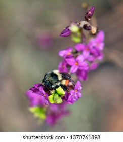 Bumble bee on a pink Daphne flower in spring in Southeast Alaska.