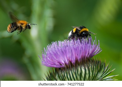bumble bee on a purple blooming thistle