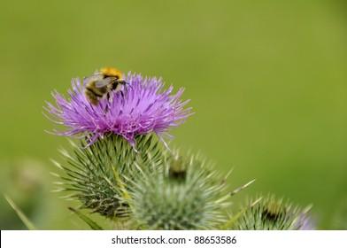 Bumble bee on purple wild flower