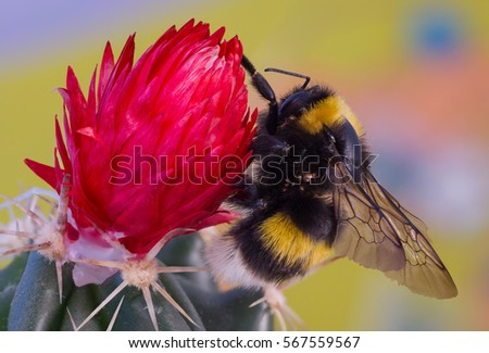 Bumble bee on a red flower.