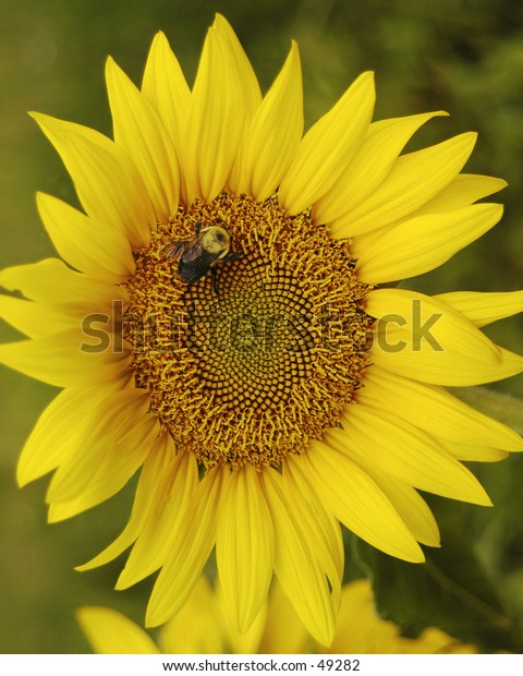 Bumble Bee on sunflower.