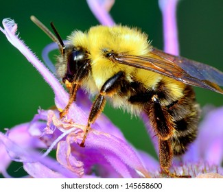 Bumble Bee perched on a flower collecting pollen.