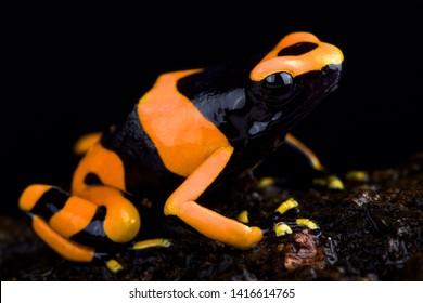 Bumble bee poison frog (Dendrobates Leucomelas) Guyana Banded