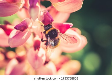 Bumble Bee pollinating and collecting nectar from a Lupin flower in the garden at the Sunset. Shallow debth of field
