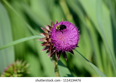 A Bumble Bee Pollinating a Purple Flower