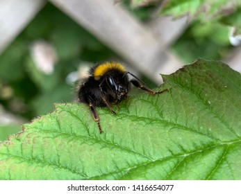 Bumble bee resting on a bramble leaf