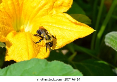 Bumble Bee in Squash Blossom