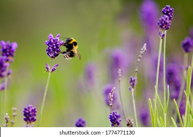 Bumble bee sucking nectar from lavender