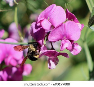 Bumble Bee and Sweet Peas