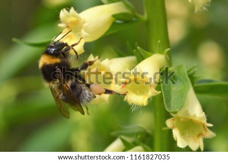 Bumble bee visiting a yellow Foxglove.