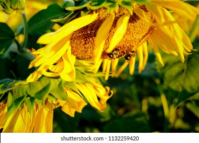 Bumble bees having a field day in the sunflower field at Dorothea Dix Park in Raleigh North Carolina