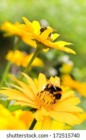 Bumble bees on false sunflowers or Heliopsis helianthoides in the garden in summer - vertical