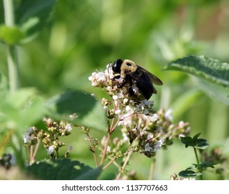 Bumblebee after the nectar!