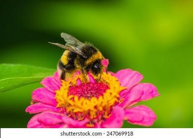 bumblebee bee on the flower sobirat honey
