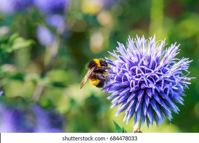 Bumblebee and blue flower Echinops sphaerocephalus. Blue globe thistle or great globe thistle or pale globe-thistle flowering plant. Bumble bee and Perfect attracting pollinator blossom