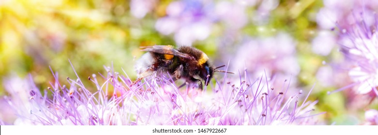 Bumblebee and Blue Flower of Lacy Phacelia Tanacetifolia, closeup. Blue tansy or purple tansy - honey plant, attracting pollinators such as honey bees or bumblebee, web wide banner