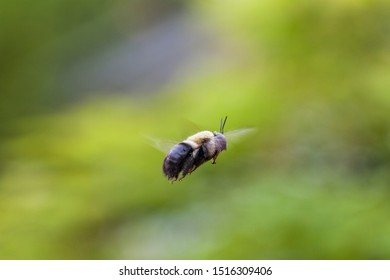 Bumblebee Bombus Caught Mid Air Flying
