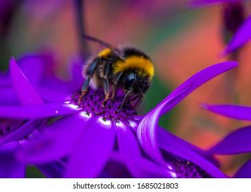 Bumblebee (Bombus pascuorum) on a purpple  flower.