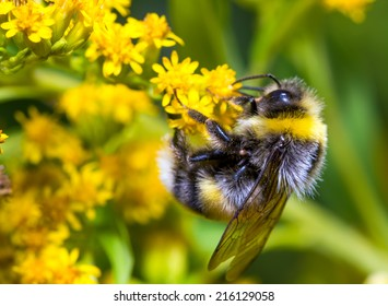 Bumblebee (Bombus pascuorum) on a yellow flower