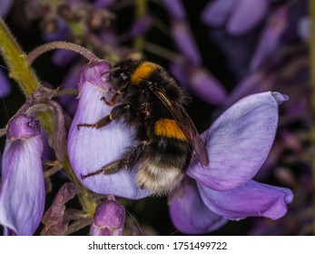 Bumblebee (Bombus sp., family: Apidae). Bumblebees are important agricultural pollinators, but their number is decreasing all over the world due to pesticides and herbicides that farmers use.