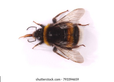 The Bumblebee (Bombus terrestris) from above isolated on white background